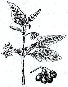 Список семейства пасленовых растений  овощных